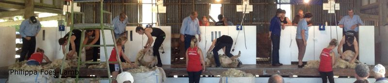 Sheep shearing1 copy