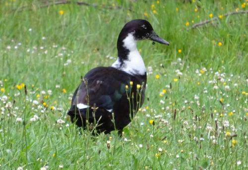 Strange Duck (2)